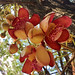 Flowers of The Cannonball Tree