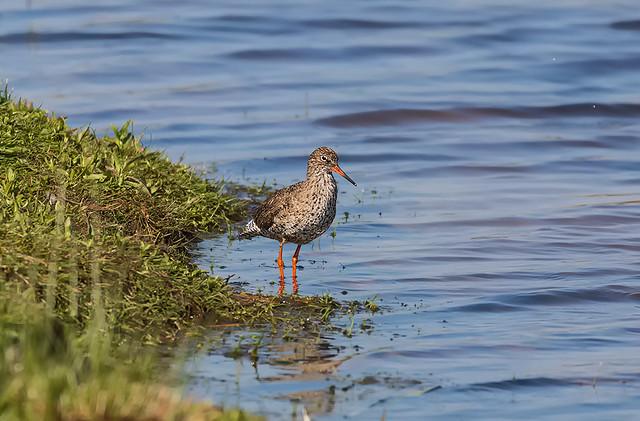 Redshank Loch Leven