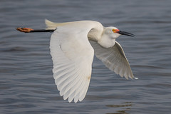 Snowy Egret Inflight
