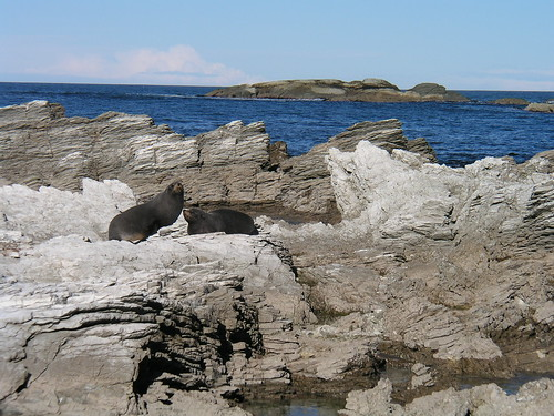Fur seals on coastal rocks near Kaikoura NZ 6-25-03