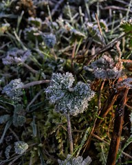 Premières gelées ❄️💨🍃 #nature #grassland #grass #frozen #winter #beautiful #pretty #flowers #twilight #beauty #light #love #green  #weather #day #mothernature