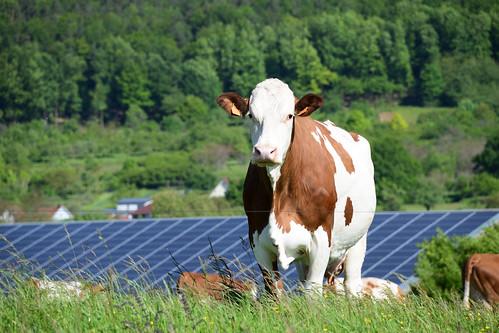 La jolie vache