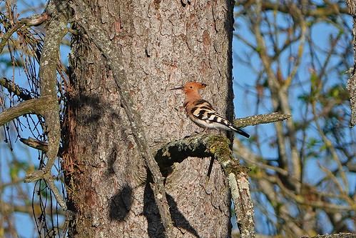 Hoopoe Chateau Mont Symond France 25-4-19