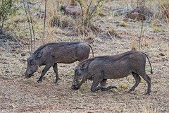 Two warthogs...