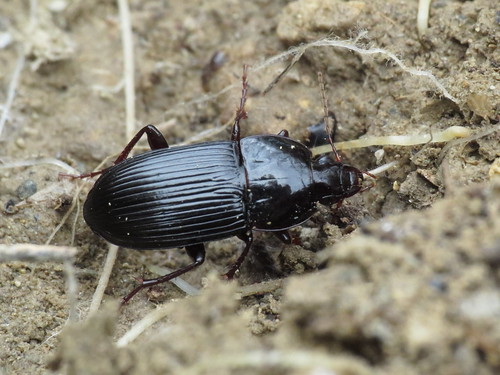 Orthomus barbarus ? (Carabidae - Ground Beetles)