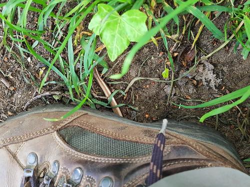 hazelworm - Anguis fragilis - deaf adder
