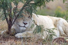 A lioness under the tree