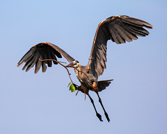 Great Blue Heron Inflight Bringing in Nesting Branches