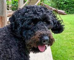 Fifi, Hundedame der Gastgeberfamilie in Leffonds, Frankreich