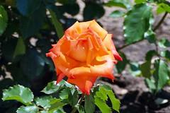 France, la rose 2 tons du jardin dans le Narbonnais - Photo of Fleury