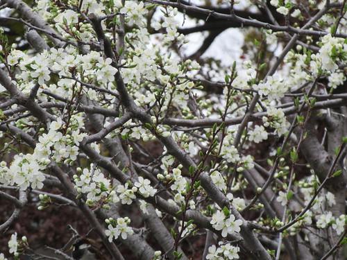 ** Notre prunier en fleurs **