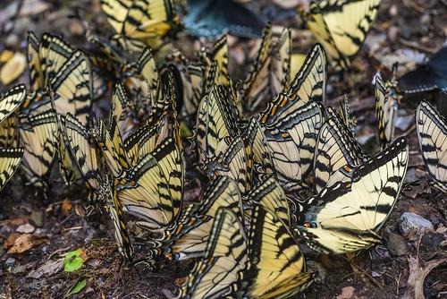 Puddling Swallowtails