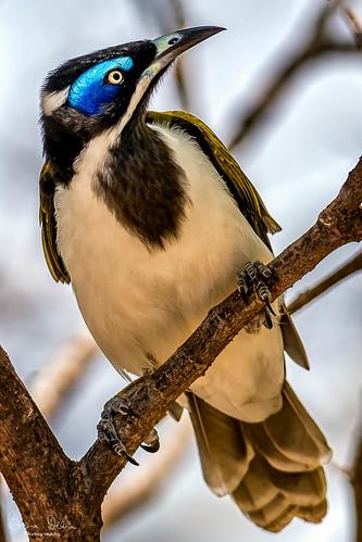 Blue Faced Honeyeater-Flickr.jpg