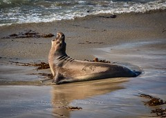 Elephant Seals No 2
