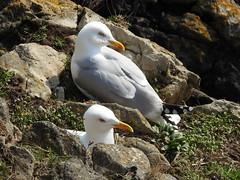 Herring gulls  1 DSCN6857