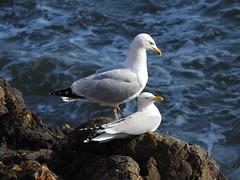 Herring gulls 4 DSCN6883