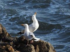 Herring gulls 2 DSCN6874