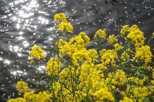 五条川と菜の花