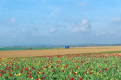 Tulip field in the Regional Natural Park Oise Pays de France - Photo of Othis