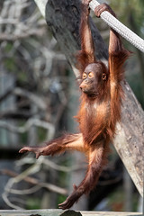 Orangutan Dreams of Ballet