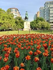 Orange tulips in bloom, Washington Circle NW, Washington, D.C.