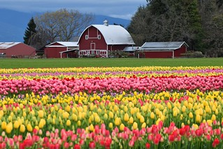 Tulips and a Red Barn