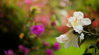 Rhododendron Fragantissimum_Revuenon 1.7-40mm