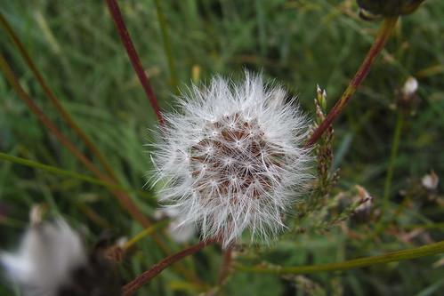 20120606 136 Pusteblume Löwenzahn