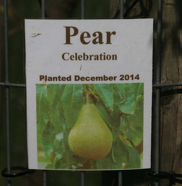 Celebration Pear in the Springfield Orchard