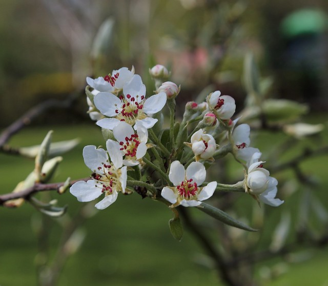 7Black Worcester Pear flowering in the Springfield Orchard