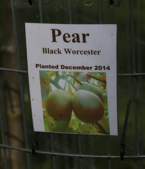 Black Worcester Pear in the Springfield Orchard