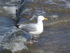 Gull DSCN7646