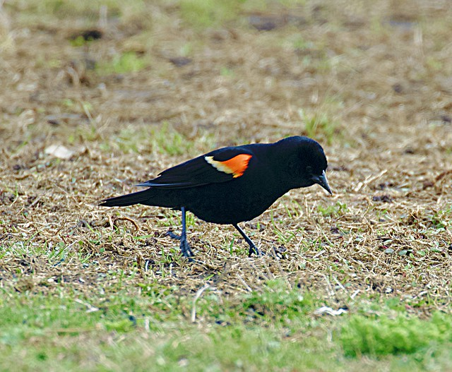 Red Winged Blackbird - Nickerson Beach, Long Island, NY; April 19, 2019