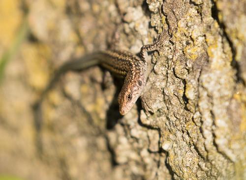 Iberian Wall Lizard (Podarcis hispanicus)