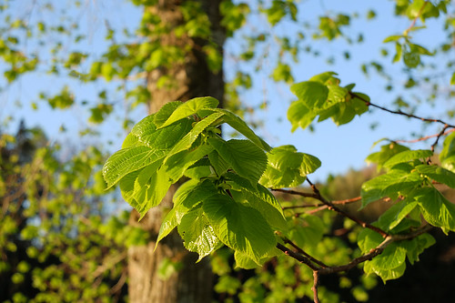 Young leaves -