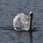 19SHR135 Mute swan, Priorslee Flash