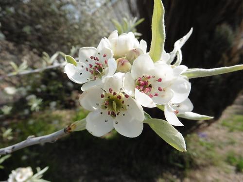 Ornamental Pear blossom