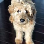 Aggie's Past F1 mini Puppies !