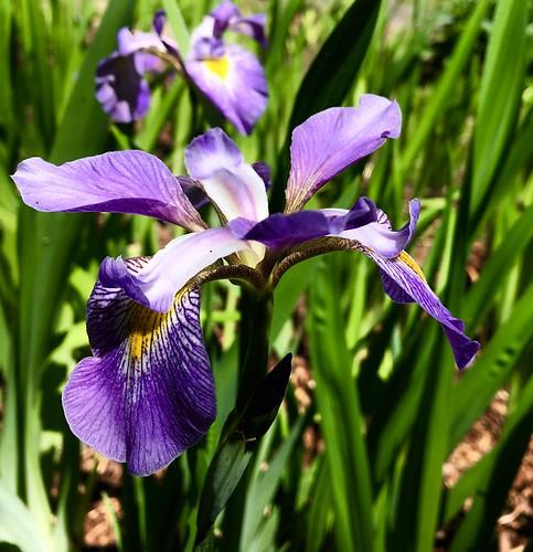 Iris Garden, Birmingham Botanical Gardens, Birmingham, Alabama