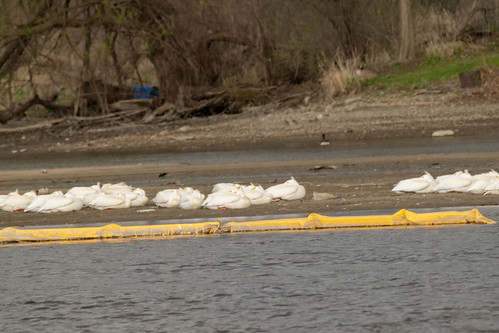 American White Pelicans on the Rock River