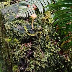tiny #mushy on the #trail#log #moss #mushroon #fungi #bryology #PNW