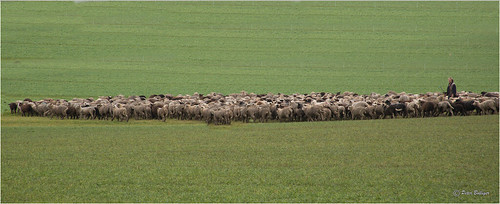 One shepherd - a few sheep