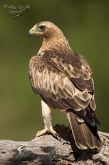 Aguilas Calzadas