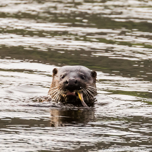 Suir River Otter