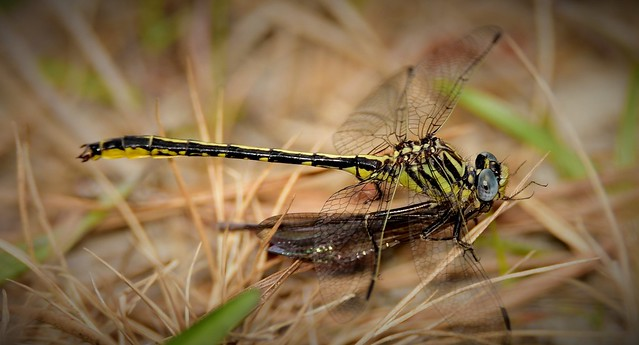Hodge's Clubtail