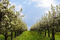 Les pommiers en fleurs - Photo of Schœnenbourg