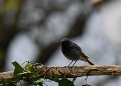 Rougequeue Noir - Black Redstart (Phoenicurus ochruros)