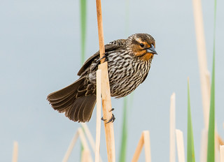 Red-winged Blackbird - Agelaius phoeniceus (Icteridae) 114v-4313