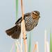 Red-winged Blackbird - Agelaius phoeniceus (Icteridae) 114v-4313