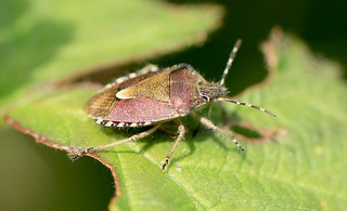 Hairy Shield bug